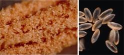 ア�エの花粉(左は葯が開いたところ,右は暗視野顕微鏡撮影)。一粒一粒の色はごく薄い赤だが,まとまると真っ赤になる