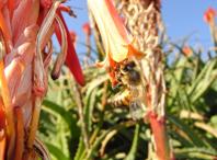 ア�エの花を訪れて蜜を吸おうとしているミツバチ