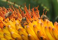 ミツバチが好んで訪れる南アフリカのア�エの一種。真ん�の ハチの脚には赤い花粉ダンゴが見える