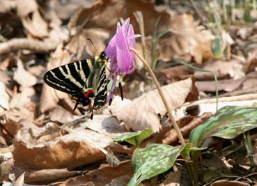 花に止まって翅を休めるギフチョウ